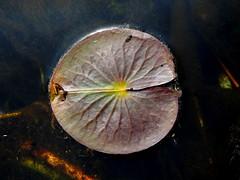 Lily Pad (pilechko) Tags: bowmanshill newhope buckscounty pa color water pond lily