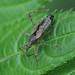 Himacerus apterus (Nabidae) - Baumsichelwanze