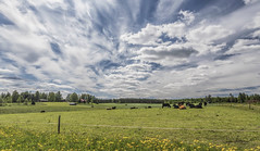 Enjoying Summer (Jyrki Liikanen) Tags: landscape landscapecapture rurallandscape countryside cattle cow cows sunnyday sunny field greenfields fence fencefriday dandelion