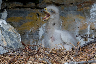 Golden Eagle eaglet (Aquila chrysaetos) - Nome, AK