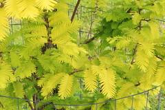Metasequoia glyptostroboides-32 (The Tree Library (TreeLib.ca)) Tags: metasequoiaglypsroboides dawnredwood