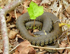 Grass Snake (Natrix natrix helvetica) (Nick Dobbs) Tags: grass snake natrix helvetica reptile dorset heath heathland ivy coiled