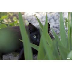 Green-eyed (horstmall) Tags: katze chat cat greeneyes grüneaugen yeuxverts garten garden jardin summer sommer été lenningertal oberlenningen schwäbischealb jurasouabe swabianalps horstmall