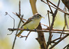 _53F8285 Philadelphia Vireo (~ Michaela Sagatova ~) Tags: philadelphiavireo birdphotography canonphotography michaelasagatova vireo