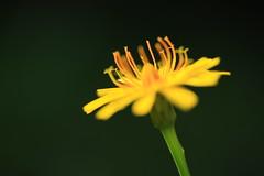 Dancing daisy (alideniese) Tags: macro closeup daisy flower nature bokeh focus shallowdepthoffield yellow green colour outdoors garden stamen petals stem sunlight shade alideniese