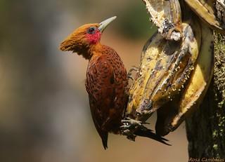 Carpintero Castaño | Chestnut-colored Woodpecker (Celeus castaneus)