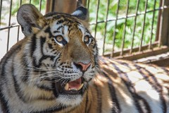 Playful cub (stephanieswayne1) Tags: stripes zoo columbus cat big animal wild endangered portrait profile face upwards up looking bored curious beautiful cute love young baby cub tiger amur