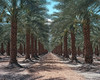 order out of chaos. mecca, ca. 2015. (eyetwist) Tags: eyetwistkevinballuff eyetwist palmtrees palm tree plantation vanishingpoint mecca desert california 4x5 film fotoman 45ps 150mm kodak ektar 100 fotoman45ps fujinonw150mmf56 kodakektar100 emulsion filmexif iconla epsonv750pro filmtagger ishootkodak largeformat ishootfilm analog analogue sheetfilm dirt sonorandesert dry americantypologies landscape roadsideamerica salton sea sand trees palms fronds american west date farm ranch vanishing point perspective geometric fruit harvest palmsprings 111 row thermal coachella hot saltonsea shadows forest
