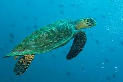 Tartaruga Verde. Green Turtle. (Chelonia Mydas). (omar.flumignan) Tags: cheloniamydas tartarugaverde greenturtle canong7xmk2