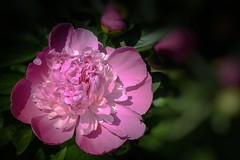 fraîche du jour (cébé céline) Tags: fraîcheur fleur pivoine saison printemps chaleur jardin jardinage rose floraison flou miseaupointsélective