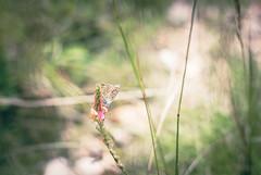 Sun lover (marcmyr) Tags: schmetterling butterfly natur nature nikon d5200 bokeh dof light licht sun colorful summer warm blossom