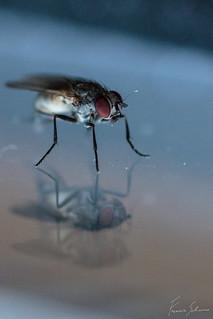 Common housefly
