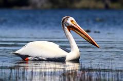 2017-06 Stephen Payne-85.jpg (Stephen_Payne) Tags: birds pelicans lakeofthewoods oregon othertags places lakes