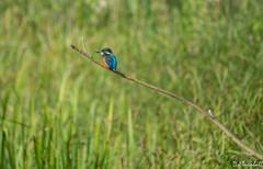 Brandon_20170625_18644 (Rural Dave) Tags: brandonmarsh kingfisher wildlife