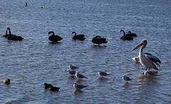Birds on Lake Illawarra (RossCunningham183) Tags: lakeillawarra wollongong australia birds waterbirds pelican ducks blackswans swans seagull silvergull cormorant