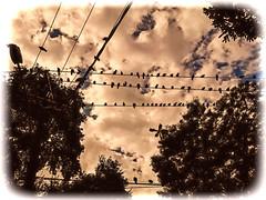 In line (cnajhar) Tags: landscape sky trees grunge birds pigeons
