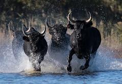 2016 Best Bulls in Camargue (15) (maskirovka77) Tags: vauvert languedocroussillonmidipyrén france languedocroussillonmidipyrénées fr