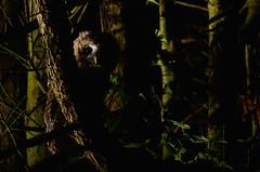 Tawny owlet (Kevin Keatley1) Tags: tawnyowl tawny owlet tawnyowlet babyowl owls owl kevinkeatley woodland woodlands woods devonwoodlands sidelight wildlifewatchingsupplies cameracamouflage nightphotography nikond800 nikon300f4p britishwildlife britishwoodlands nature strixaluco owlets nightphotos