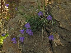 Campanula carnica (aniko e) Tags: campanulaceae campanula campanulacarnica dolomites truden trodena altoadige südtirol italien italy cislon flower blue rock chalk limestone summer