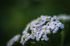 Focus on Flowers (tquist24) Tags: indiana nikon nikond5300 outdoor bokeh color flower flowers garden green nature summer white yard yellow