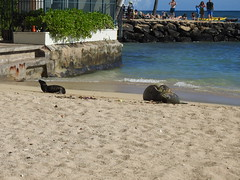 Monk seal pup exploring (Joel Abroad) Tags: honolulu waikiki monkseal sealpup beach neomonachusschauinslandi phocidae hawaiian endangered