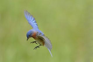 200 - Eastern Bluebird