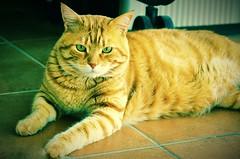 Mi belleza pelirroja, Zarpazos (En memoria de Zarpazos, mi valiente y mimoso tigre) Tags: cc100 happypets zarpazos gattuso gatopelirrojo dep cat gattoarancione ginger orangetabby gatofeliz gatolibre gattorosso gatoatigradonaranja