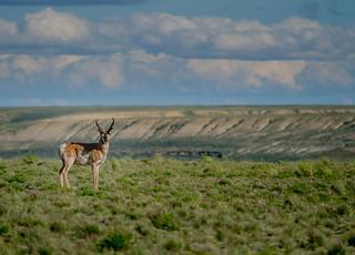 Pronghorn Antelope #14