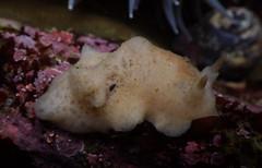 Atagema alba (Carmel Pt) (Jeff Goddard 32) Tags: carmelpoint montereycounty california lowtide tidepools nudibranchs seaslug mollusca nudibranchseaslugs atagema atagemaalba dorid