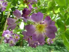 Rosa 'Veilchenblau' (Linda DV) Tags: lindadevolder plantentuin nationalbotanicgardenofbelgium 2017 nature geotagged garden belgium meiseplantentuin meise panasonic lumix ribbet rosa rosaceae purpleflower rosales