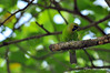 Jerdon's leafbird (Chloropsis jerdoni) (Tstudioz) Tags: wildlife wayoflife wetzones wilderness wild endemic rainforest rainydays tstudioz tharidu tharakaperera thariduperera illusive images interesting oriental photography primates potrait bodhinagala colorfullbirds amazingsrilanka asia asian srilanka srilankawildlife srilankabirds d dryzone forestreserve forest green habitat jerdons lanka lighting zone exotic camoflage birding birds beautifullsrilanka beautiful birdsofsrilanka nikon nikond90 nature nesting magnificent
