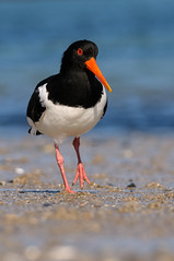 I'm walking (jwfoto1973) Tags: austernfischer haematopus helgoland insel island deutschland germany tier animal vogel bird nordsee northsea strand beach d300 johannesweyers nikon wildlife natur nature