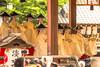 Gion Matsuri Gosai, Yasaka Jinja, Kyoto, 2016! (KyotoDreamTrips) Tags: geiko gionmatsuri higashihanamachi kyoto pontochōkaburenjo whiteherondance yasakashrine maiko 先斗町 八坂神社 白鷺の舞 祇園東 祇園祭り 祇園祭後祭