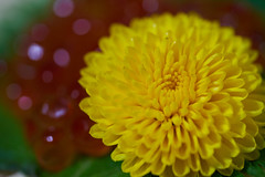 For a nice Diner (Christophe-la) Tags: salmon egg dandellion taraxacum flower food