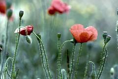 Coquelicots 2 (marineGib) Tags: coquelicots fleurs nature proxi