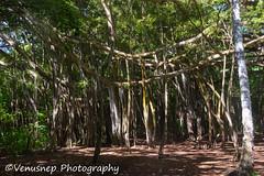 Turtle Bay 20 (venusnep) Tags: turtlebay turtle bay hawaii travel travelphotography north shore northshore may 2017 nikond610 nikon d610 banyantree banyan tree