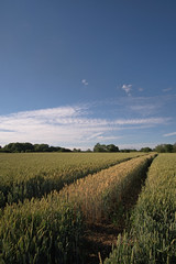 Untitled (QacaMata) Tags: landscape eastmidlands wheat samyang12mmf20 field agriculture traces texture
