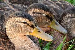 An Open and Shut Case (NaturalLight) Tags: mallard ducklings resting sleep awake chisholmcreekpark wichita kansas asleep