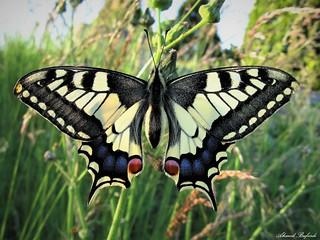 Butterfly 1342