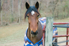 (onapaperplane) Tags: kassi bridleless standardbred horse equine pennsylvania dover green spring winter blanket trail ride free range silhouette sanctuary rider