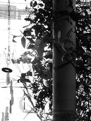 9611 (sullmarc) Tags: nikon coolpix digital optical zoom plant monochromatic bw pb black blackwhite f45 iso80 80