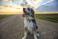 Rescue Dog Extraordinaire (Explore 05/07/2017) (Lori Bote) Tags: bestfriend panting canine dog rescuedog dogportrait mutt doglove animal fourleggedfriend pup puppy sunset sunsetrun tongue furry furryfriend pet petdog summer gridroad clouds skyline countryroad