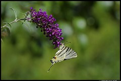 _DSK4109-07-07-2017 - podalirio (r.zap) Tags: iphiclidespodalirius podalirio rzap parcodelticino farfalla