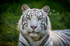 Tigresse (Oric1) Tags: france franceoric1 oric1 tamron150600 tregomeur animal breizh bretagne brittany côtesdarmor tigreblanc zooparc 7d eos canon breton tamronsp150600mmf563divcusd jeanlucmolle 22 armorique félin greeneyes tigresse asie asian tiger