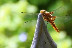 Libelle (Malz77) Tags: insekten macro grün detail netz muster pattern golden flügel natur nature eutin