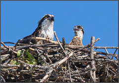 Adult Osprey and Chick (Randy Lowden) Tags: osprey parent baby chick nest ontario randylowden canon