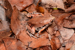 Sheep Frog (amdubois01) Tags: sheepfrog mexicannarrowmouthedtoad frog narrowmouthedtoad toad hypopachus hypopachusvariolosus méxico campeche yucatánpeninsula herpetology amphibian
