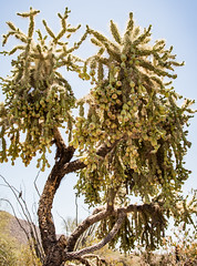 Desert Tree with Fruit (Cole Eaton Photography) Tags: lake pond water nature natural arizona desert park leaf green grass tall warm sunny sunshine shade ripple bokeh tree branch leave leafs leaves peace serene calm breeze cactus flower saguaro spike spikes trail dust succulent cacti prick prickly