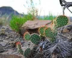 cactus (ekelly80) Tags: montana makoshikastatepark june2017 summer roadtrip keisgoesusa badlands glendive geology scenery hike trail plants green vegetation cactus