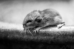 wee one (jojoannabanana) Tags: 3652017 adorable animal baby blackandwhite closeup critter cute lambertonconservatory macro monochrome mouse rochester tiny